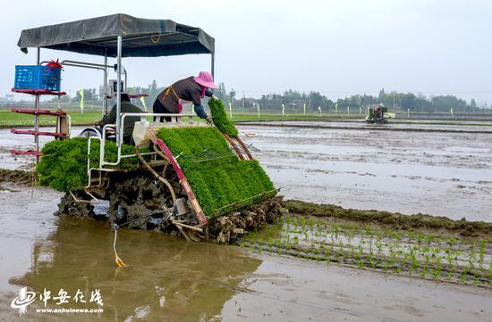 大型机械正在安徽省合肥市庐江县郭河镇河广家庭农场的大田里机插早籼稻