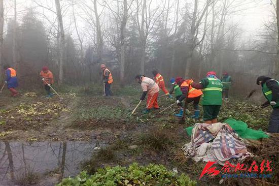 园林工人铲除宿松路与合安高速之间防护林附近的菜地