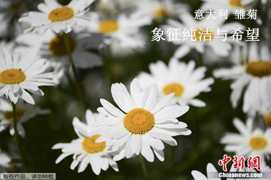 资料图:雏菊。