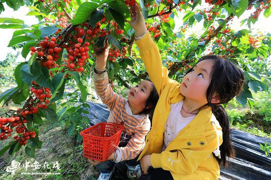 小朋友们樱桃园采摘樱桃