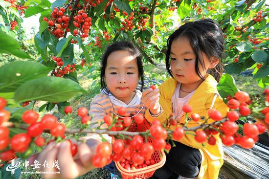 安徽庐江:樱桃熟了