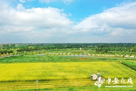 安徽肥西:生态早稻收割忙