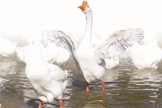 ◆ 皖西白鹅2000年列入首批国家级畜禽遗传资源保护品种。皖西白鹅浑身是宝,肉质细嫩鲜美,羽绒产量高、品质优