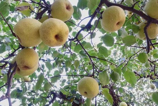 梨树王枝头挂满酥梨 张俊摄