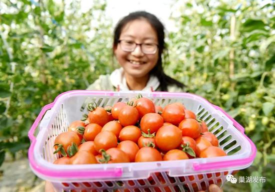 中垾番茄采摘