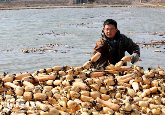 2月19日,安徽省全椒县十字镇农民在藕田里采收莲藕