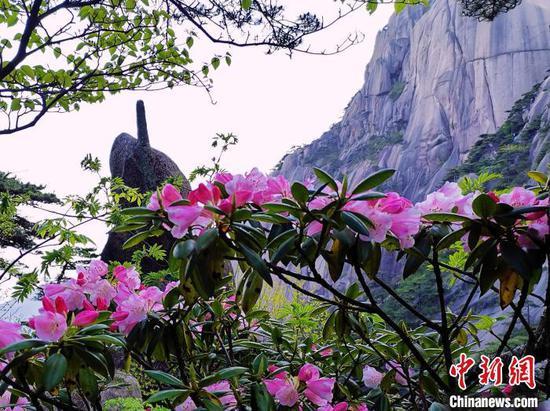 黄山之巅杜鹃红艳。 凌强 摄