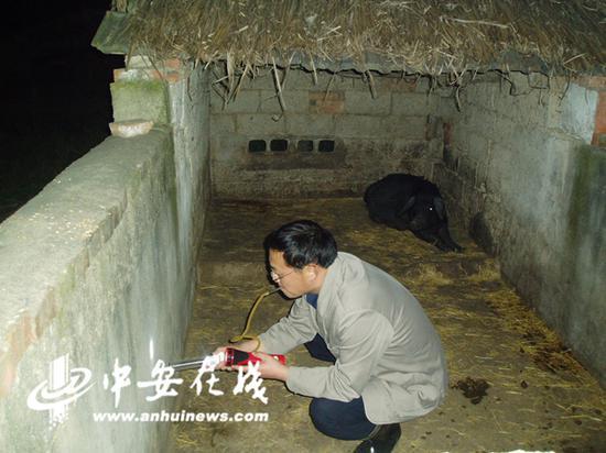 工作人员在肥东的一户人家的猪圈里进行蚊虫监测