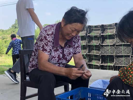 在鲜桃分拣区的旁边,63岁的何老太正在忙着挑拣桃胶。
