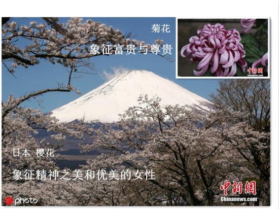 资料图:樱花与菊花。