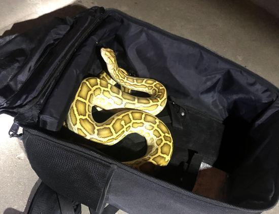 黄金大蟒蛇落网