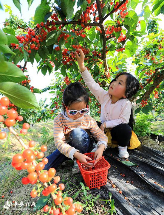 小朋友们在合肥庐江县白山镇觉海村双林园林采摘园采摘樱桃
