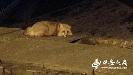 受伤的赤狐