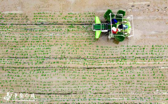 庐江县郭河镇河广家庭农场的大田里正在机插早籼稻