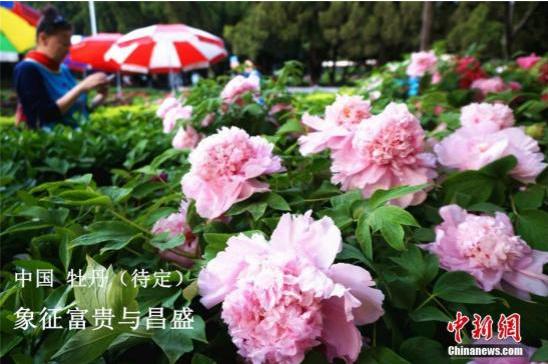 资料图:牡丹花。韩章云 摄