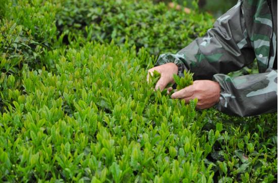 徽州区谢裕大茶博园春茶采摘(图片来源:安徽省文化和旅游厅)