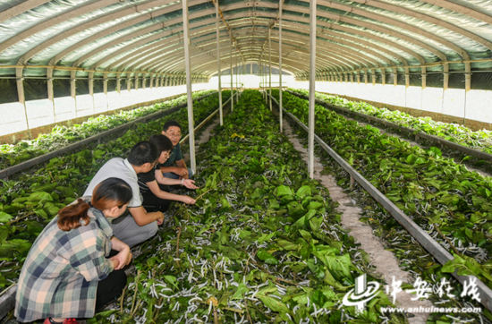 安徽农业大学生命科学学院教授、农业生物技术专家徐家萍(右二)正在指导当地农民养蚕