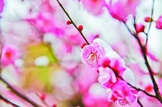 2月11日,合肥市植物园,白雪覆盖下盛开的梅花。