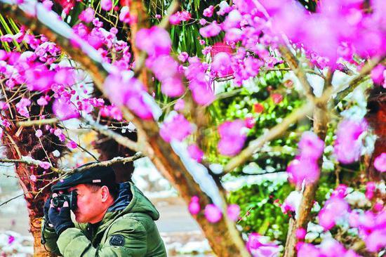 2月11日,合肥市植物园内,一位摄影爱好者正在拍摄盛开的梅花。