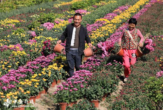金秋时节,濉溪县四铺镇新庄村花卉基地满眼都是黄的、紫的、白的等各种颜色的菊花
