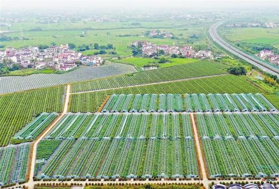 已经形成规模效应的黄汰村果蔬培育基地 记者 陈洁 摄