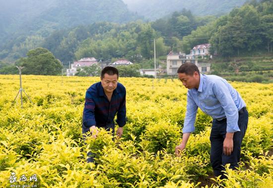 响肠镇山水间合作社理事长王世遐与社员们察看黄金芽茶长势