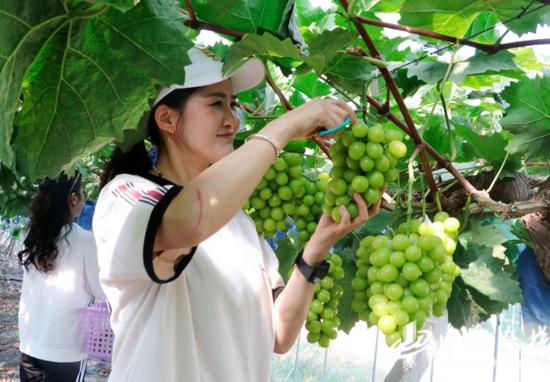 游客在阳光玫瑰种植基地采摘葡萄