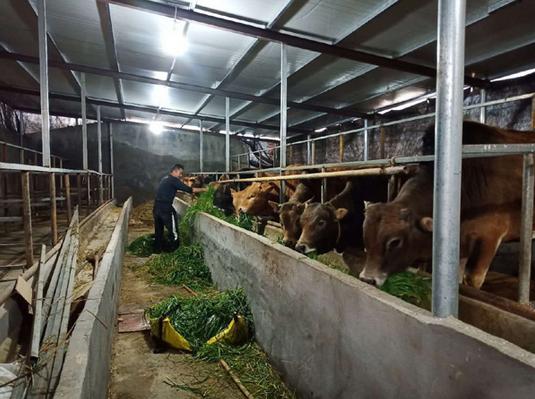 休宁县:黄牛养的壮 增收有希望