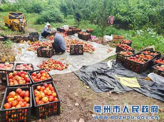 农场采摘桃子通过网络销售