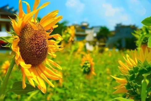 黄山周边隐藏的向日葵花海