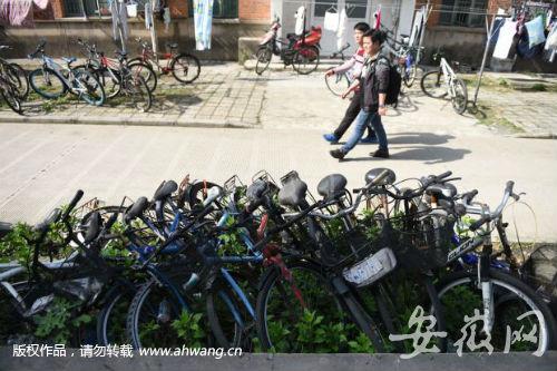 """一排""""僵尸自行车""""停在绿化带里。"""