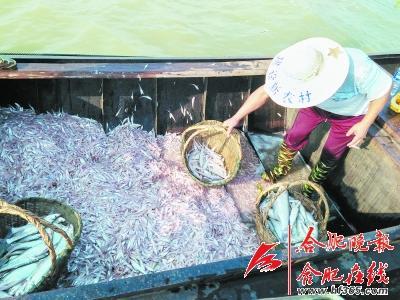 巢湖开湖捕捞毛银鱼 渔具网目大小有规定