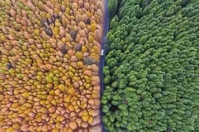 中国竟有条双色水杉大道
