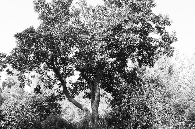 庐阳古树名木将有身份证号 年龄最大的一株已有324岁