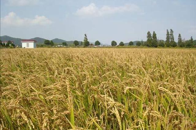 安徽中晚稻收购价格运行平稳