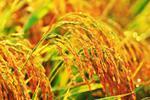 """安徽农民脑洞大开 用水稻种出""""小猪佩奇"""""""