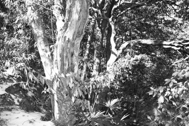 歙县发现豹皮樟古树群 是宝贵的旅游与自然资源
