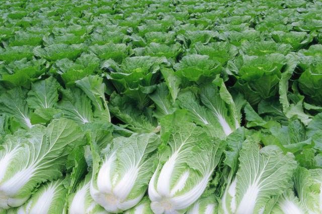 合肥蔬菜价格为近六年来同期最低