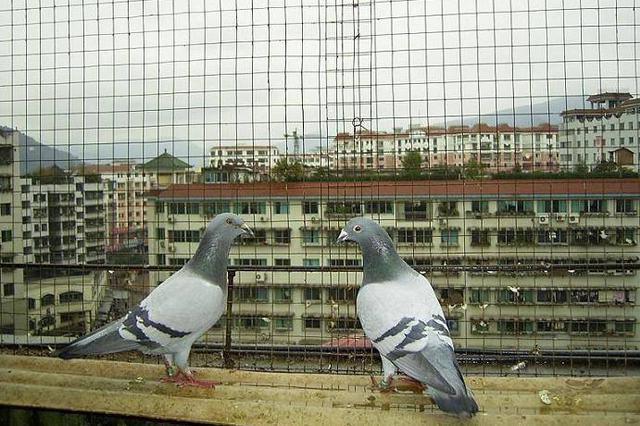 蚌埠首例利用信鸽竞赛诈骗案告破