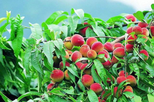 安徽省计划建20个省级标准果园