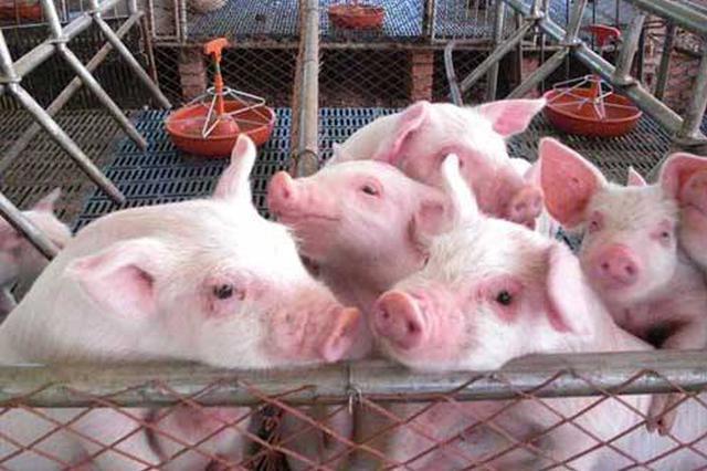 """肥东一养猪场突发大火 600头生猪差点变""""烤猪"""""""