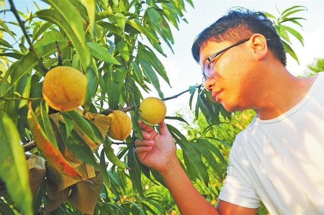 芜湖县六郎镇200多亩桃子即将成熟