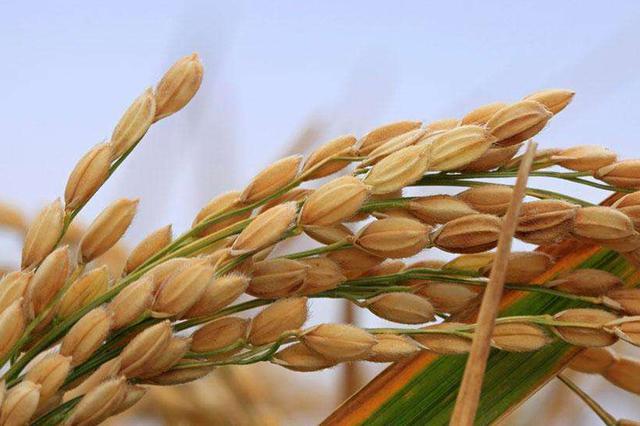 安徽今年继续实施中晚稻最低收购价政策