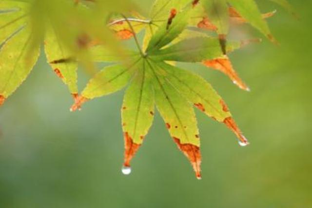 秋雨打秋叶正是赏叶时 安庆今日阴有小雨
