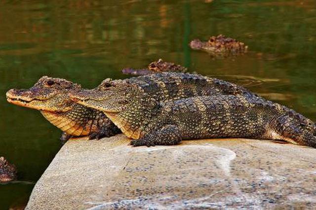 安徽揚子鱷保護區遭違規侵占 核心區變開發區