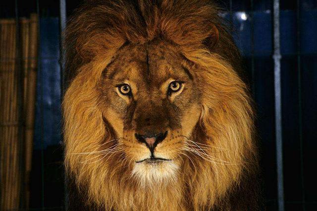 安徽马戏团狮子上高速 警察射击20余枪击毙