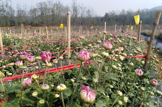巢湖市引進30畝食用菊花 填補合肥地區該品種種植空白