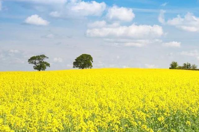 安徽省油菜种植面积止跌回升 比去年增加17.07万亩