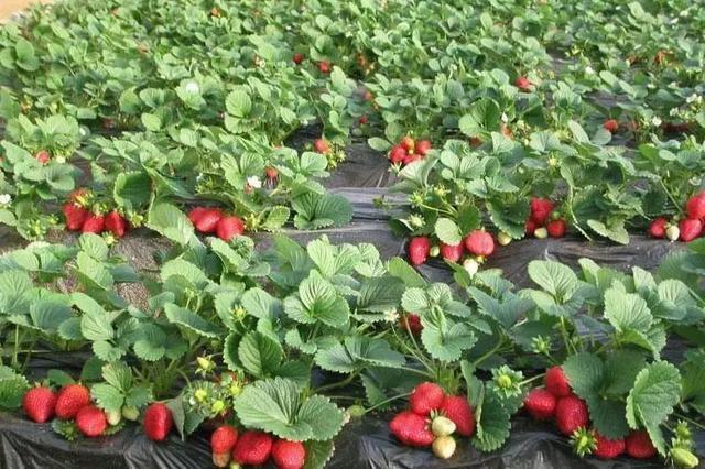 长丰草莓开始零星上市 价格惊人一斤卖50元