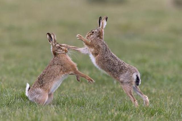 """男子带狗抓野兔被抓 警方:抓""""三有""""动物会犯法"""